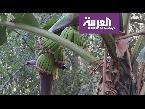 شاهد قرية سعودية تنتج أغلى موز في المنطقة