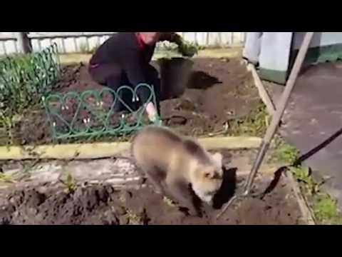 اليمن اليوم- بالفيديو دب صغير يساعد امرأة في زراعة البطاطس