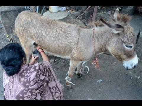 اليمن اليوم- زيادة الطلب على لبن الحمير للشفاء في الهند