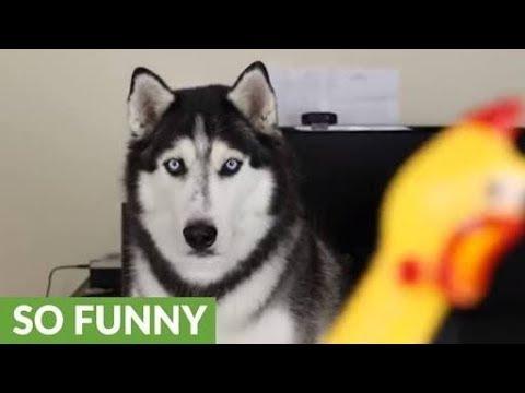 رد فعل الحيوانات على دجاجة لعبة