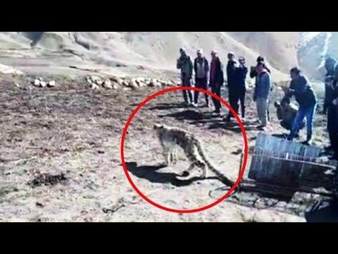 شاهد في الهند إطلاق سراح نمر ثلجي هاجم القرية بدلا من قتله