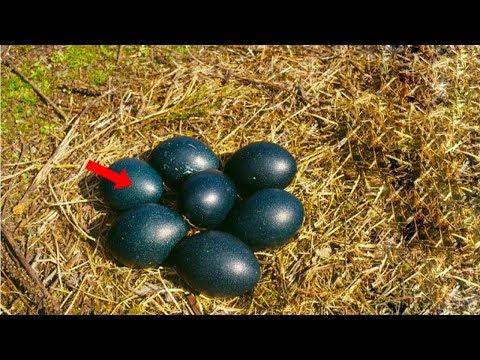 شاهد ماذا بداخل البيض الأسود