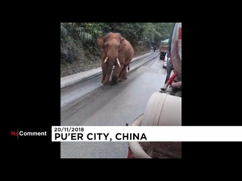 شاهد ضيف صيني ثقيل الظل والوزن يدخل القُرى فيقطع الطريق