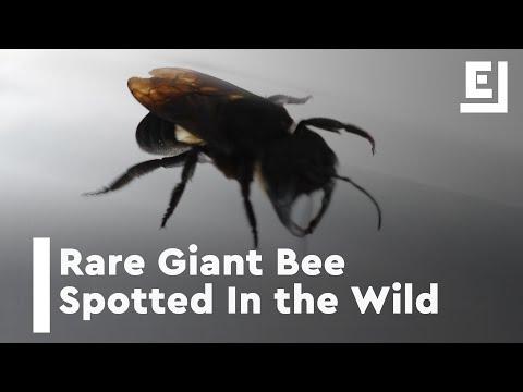 شاهد إعادة اكتشاف أكبر نحلة في العالم بعد اختفائها عام 1981