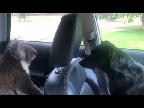 شاهد أسترالي ترك باب سيارته مفتوحًا ليتفاجأ بدبٍ ينتظره داخلها