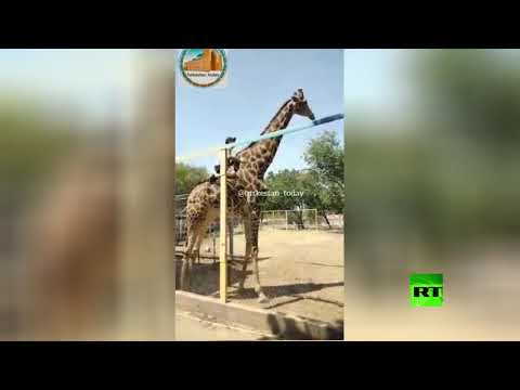 مخمور يتسلق سياج حديقة ويمتطي زرافة بعد 3 محاولات فاشلة