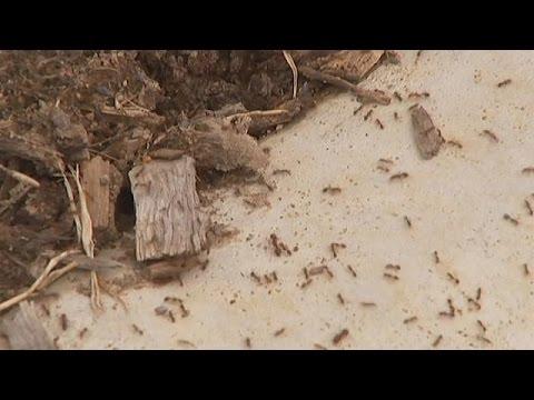 اليمن اليوم- شاهد جيوش من النمل القاتل تجتاح أستراليا