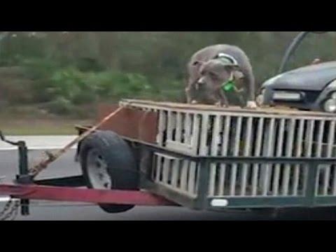 اليمن اليوم- رجل يعرض كلبه للخطر أعلى سيارة