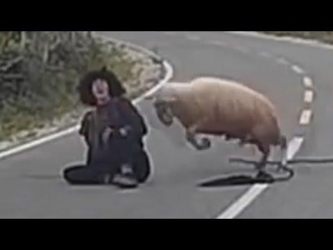 اليمن اليوم- بالفيديو خروف غاضب يضرب الراعي على الطريق العام