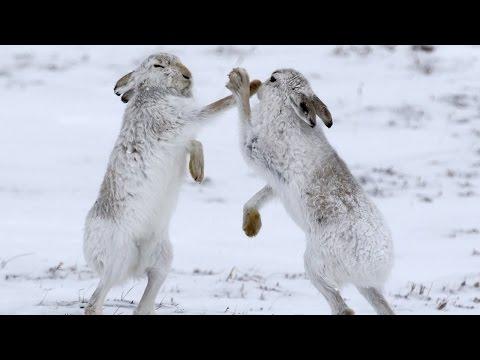 اليمن اليوم- شاهد ذكور الأرانب في قتال شرس دفاعًا عن أنثى