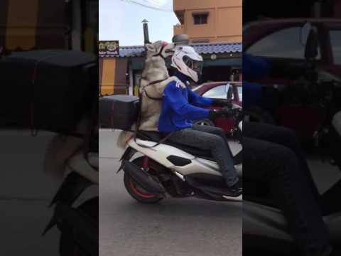 اليمن اليوم- كلب ملتزم بقواعد ركوب الدراجة النارية