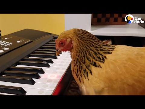 اليمن اليوم- شاهد دجاجة تعزف نشيدًا وطنيًا أميركيًا