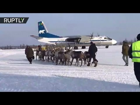 اليمن اليوم- شاهد حيوانات الرنة على متن طائرة نقل an26