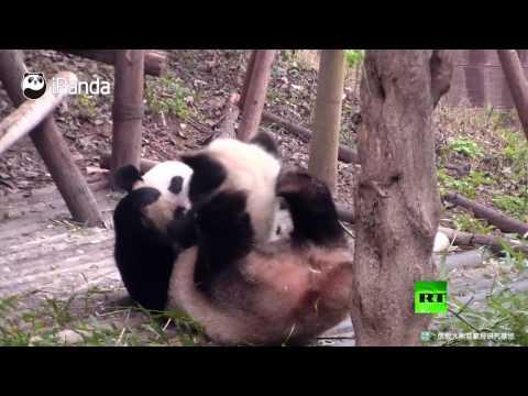 اليمن اليوم- شاهد لحظات جميلة لعائلة باندا من تشنغدو الصينية