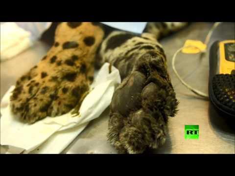 اليمن اليوم- إجراء عملية جراحة عظام لفهد أميركي في سان سلفادور