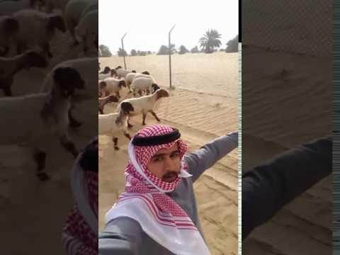 اليمن اليوم- خروف يضع سعوديًا في موقف محرج