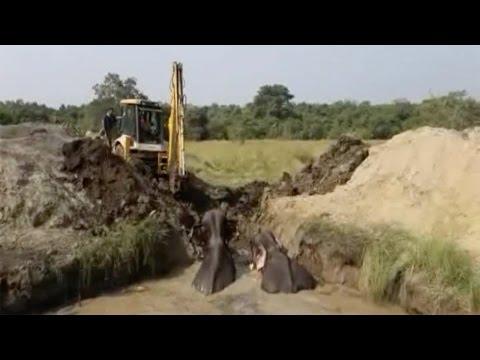 اليمن اليوم- شاهد إنقاذ أربعة أفيال من حفرة ممتلئة بالمياه