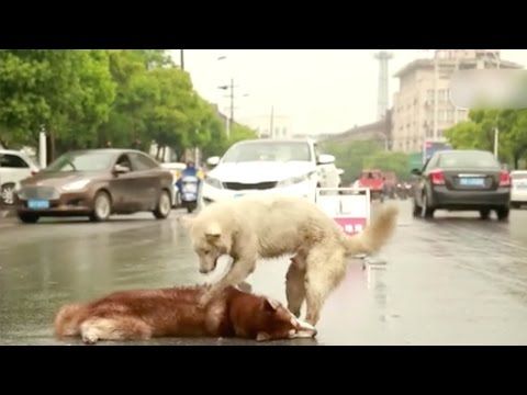 اليمن اليوم- شاهد كلب يرفض ترك جثة صديقه في الصين