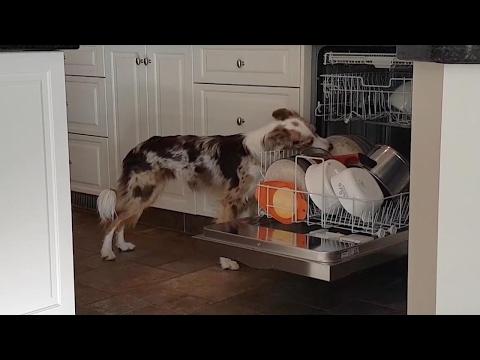 اليمن اليوم- بالفيديو كلب صغير يساعد مربيته في تنظيف الأطباق