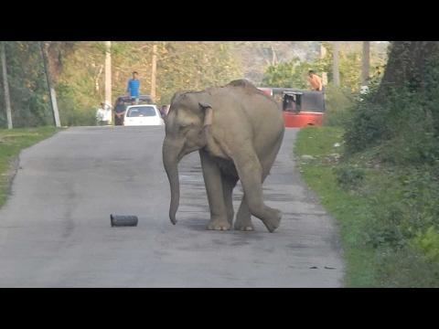 اليمن اليوم- بالفيديو فيل يغلق طريقًا رئيسيًا ليلعب بقطعة بلاستيكية