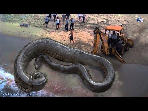 اليمن اليوم- بالفيديو  حقائق رهيبة ومخيفة عن الثعابين
