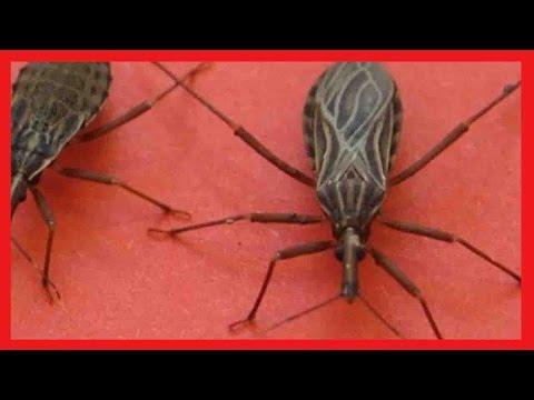 اليمن اليوم- شاهد حشرة إذا وجدتها في منزلك عليك الاتصال بالإسعاف