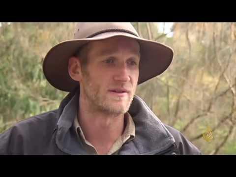 اليمن اليوم- شاهد حملة لتنظيم انتشار دببة الكوالا في أستراليا