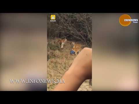 اليمن اليوم- شاهد رجل تفترسه النمور داخل حديقة في الصين
