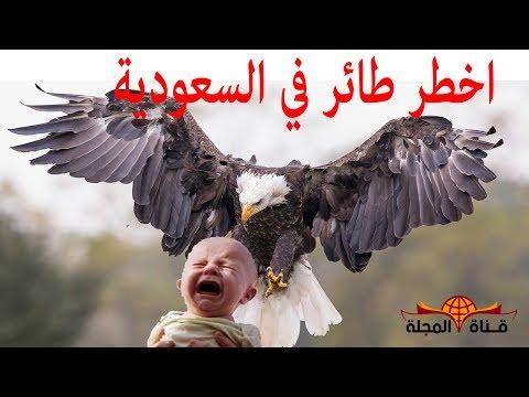 اليمن اليوم- تعرف على أخطر طائر في العالم نسر جيفرين