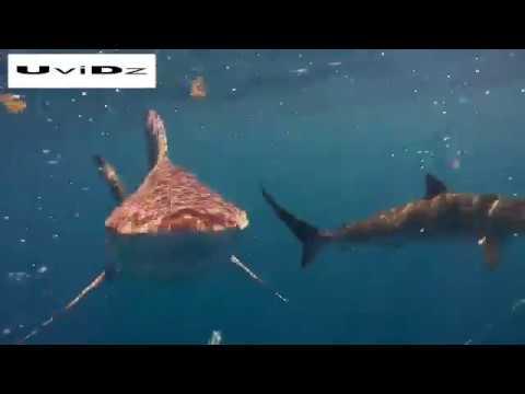 اليمن اليوم- شاهد غواص يسبح وسط أسماك القرش في فلوريدا