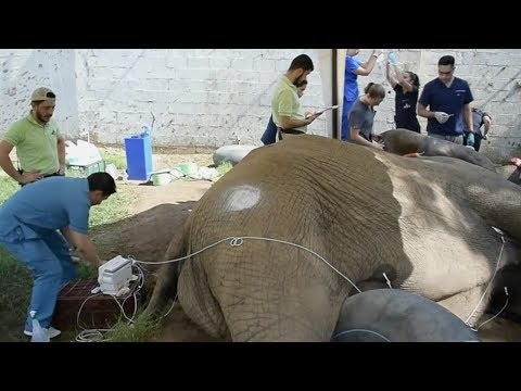 شاهد الفيل الشهير tantor يخضع لعملية جراحية جديدة