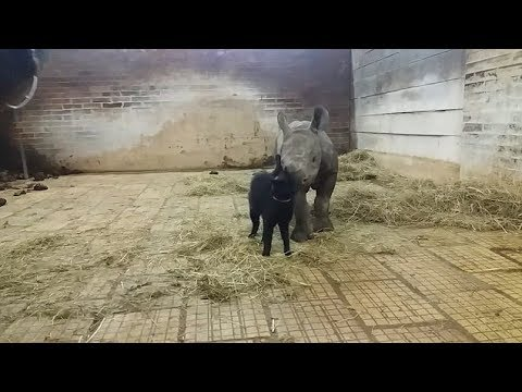 شاهد صداقة غريبة بين قطة وصغير وحيد القرن