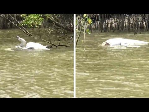 بالفيديو مشهد مرعب لتمساح يأكل آخر ويقسمه إلى نصفين