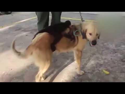شاهد كلب يتبنى قردا بعد فقدان جراءه