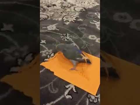 شاهد ببغاء منتوف يحاول الطيران