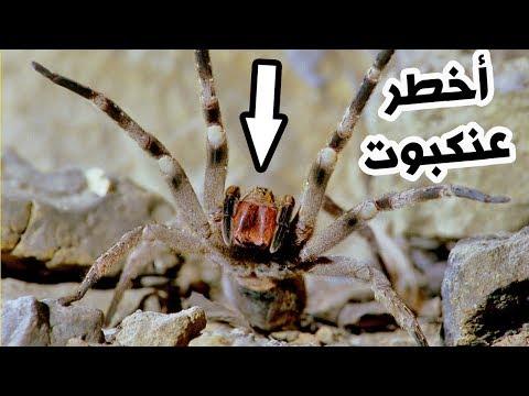أخطر 3 عناكب سامة في العالم