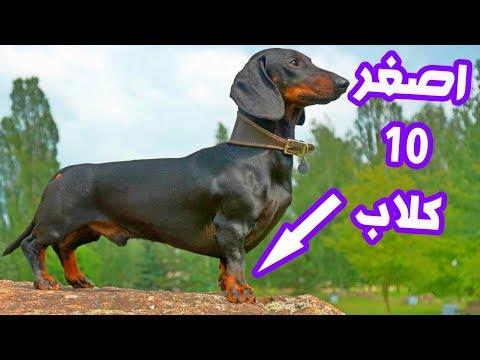أصغر وأغرب 10 كلاب في العالم