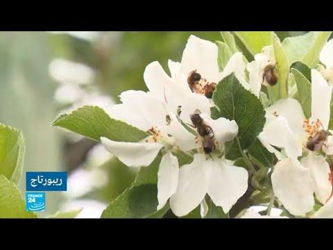 شاهد المزارعون الفرنسيون يستأجرون النحل لتلقيح محاصيلهم
