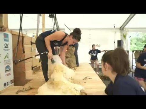 شاهد منافسة لجز فراء 2500 خروف في 24 ساعة