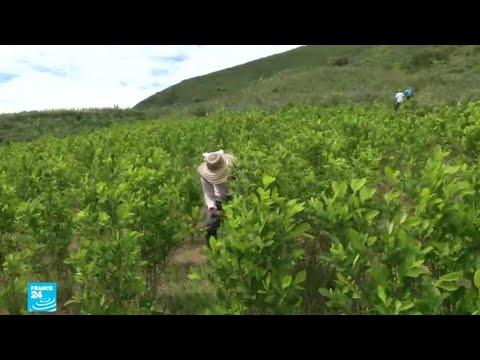 شاهد إنتاج الكوكايين في كولومبيا يبلغ مستويات قياسية
