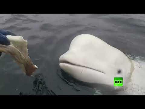 شاهد صيادون نرويجيون يعثرون على حوت أبيض مثبت فوقه كاميرا تصوير