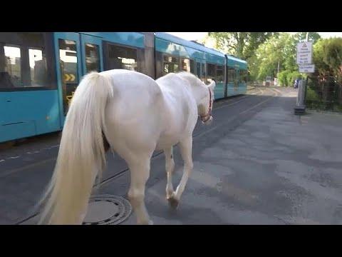 شاهد الخيول العربية تصبح من أشهر سكان فرانكفورت