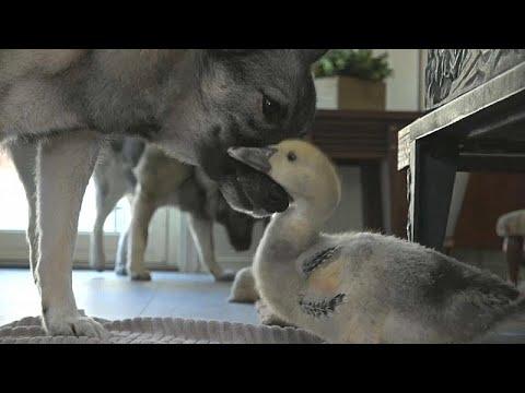 شاهد الصداقة تجمع كلبًا ببطة في قصة فريدة من نوعها بالنرويج