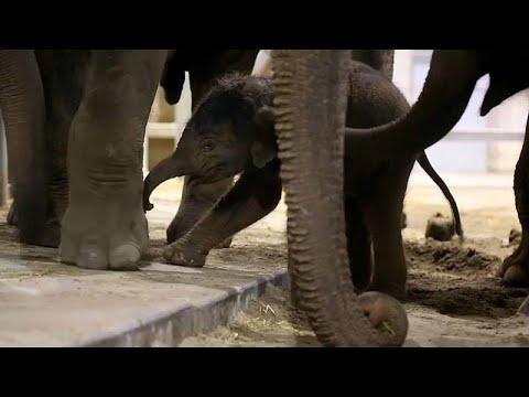 شاهد أنثى فيل تُساعد مولودها في أولى خطواته