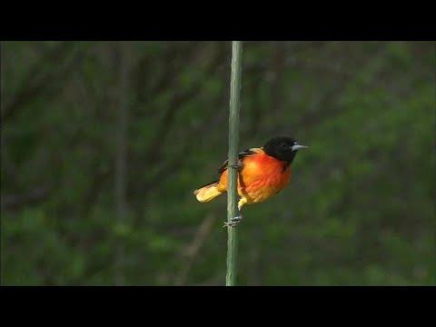 شاهد نفوق واختفاء مليارات من الطيور في كندا و أميركا خلال الـ 50 سنة الماضية