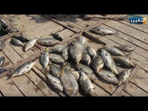 شاهد كارثة نفوق الأسماك في العراق تظهر من جديد والجاني مجهول