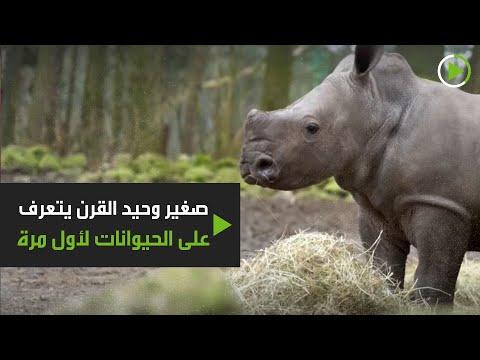 صغير وحيد القرن يتعرف على الحيوانات لأول مرة